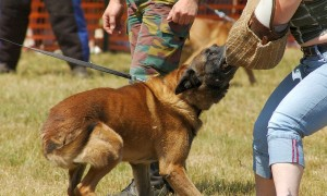 50-Plus-Report-Dogs-Train-For-The-Military